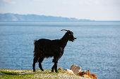 Kas-Turkey, Goat, Vertical, Nature, Outside, Goat milk,Taurus mountains goat
