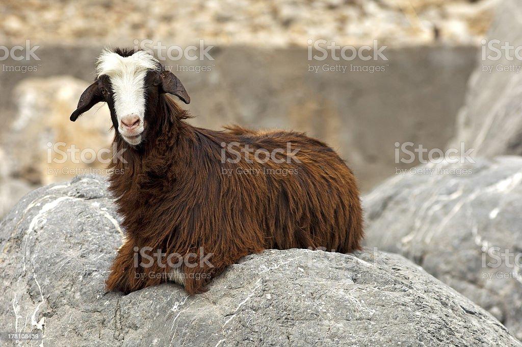 Domestic goat royalty-free stock photo