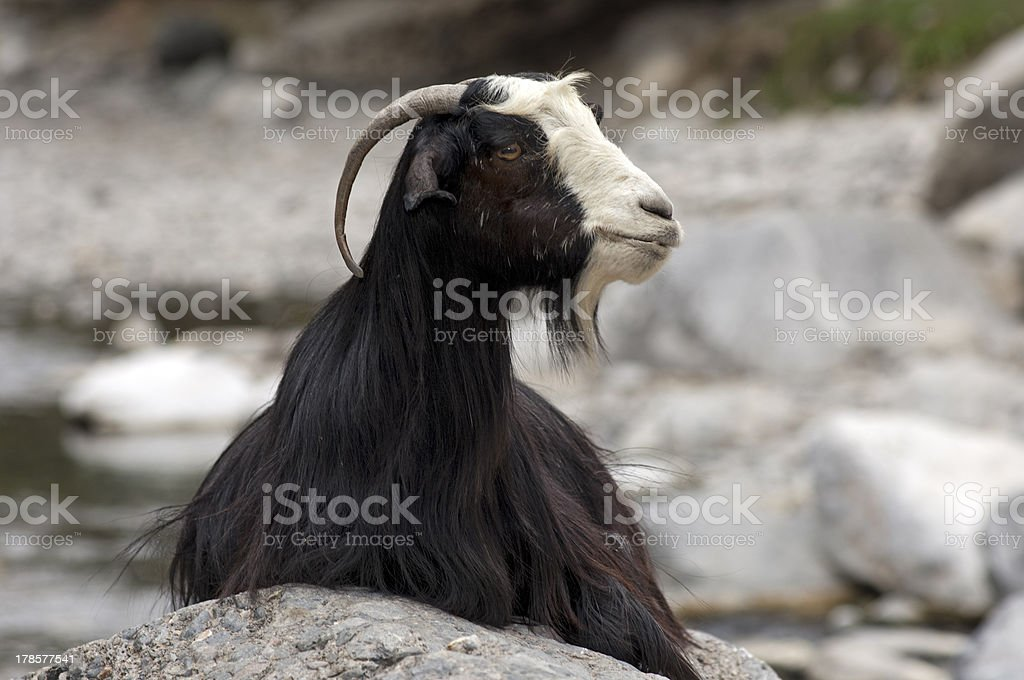 Domestic goat royalty-free stock photo