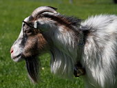 Small young goat on a meadow.