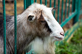 A domestic goat is resting on a pasture. Mammal