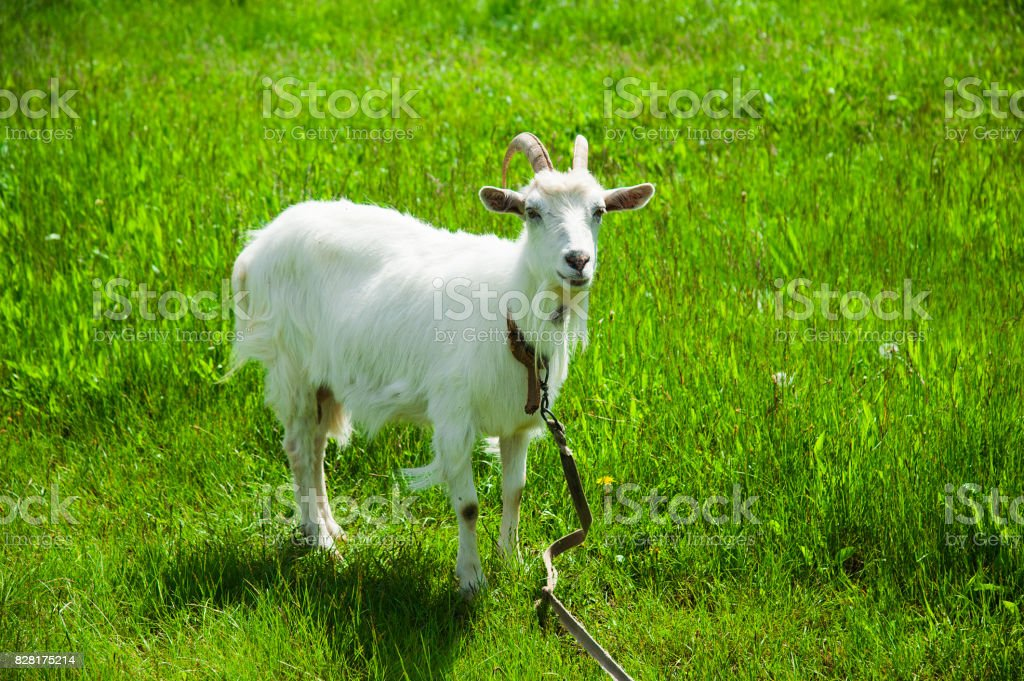 Domestic goats outdoor stock photo