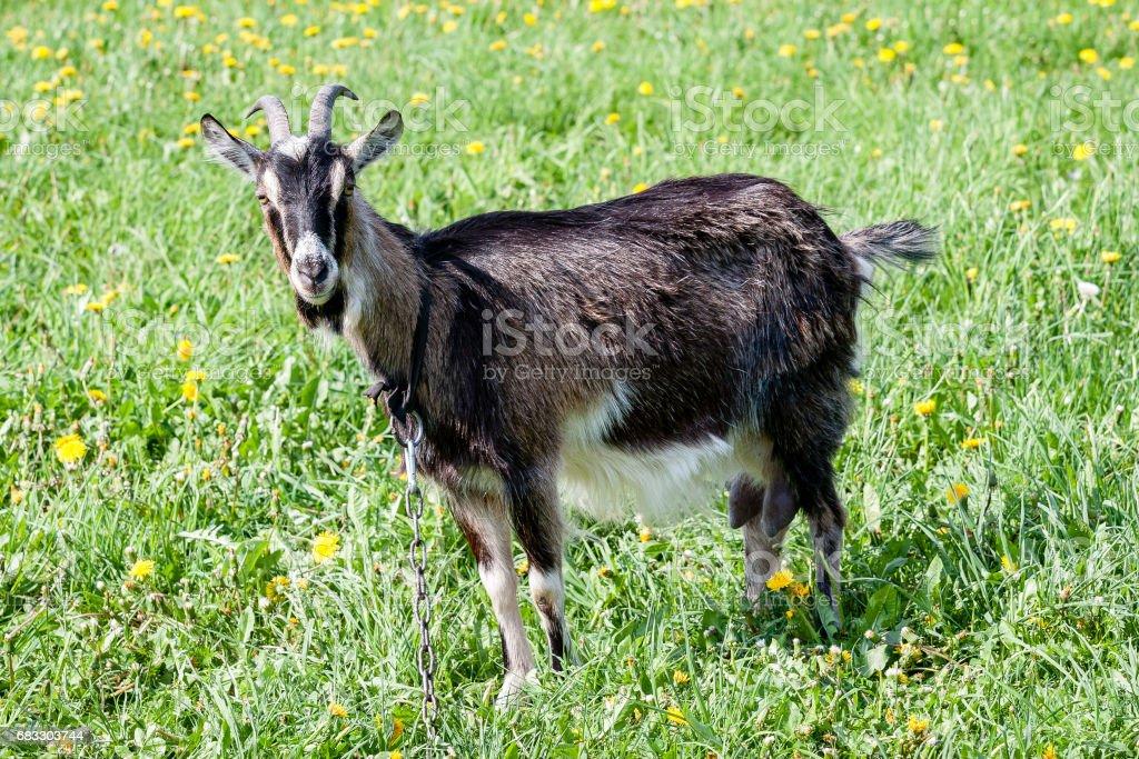 domestic goats stock photo
