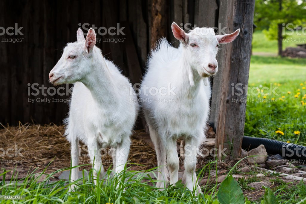 domestic goats foto stock royalty-free