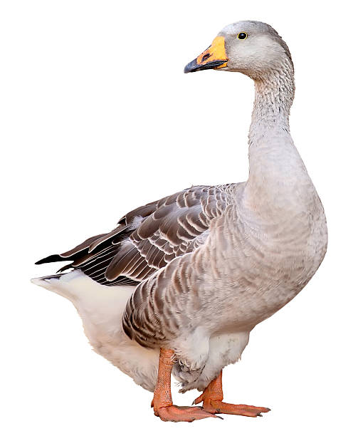 Domestic goose, Anser  domesticus, isolated on white background stock photo