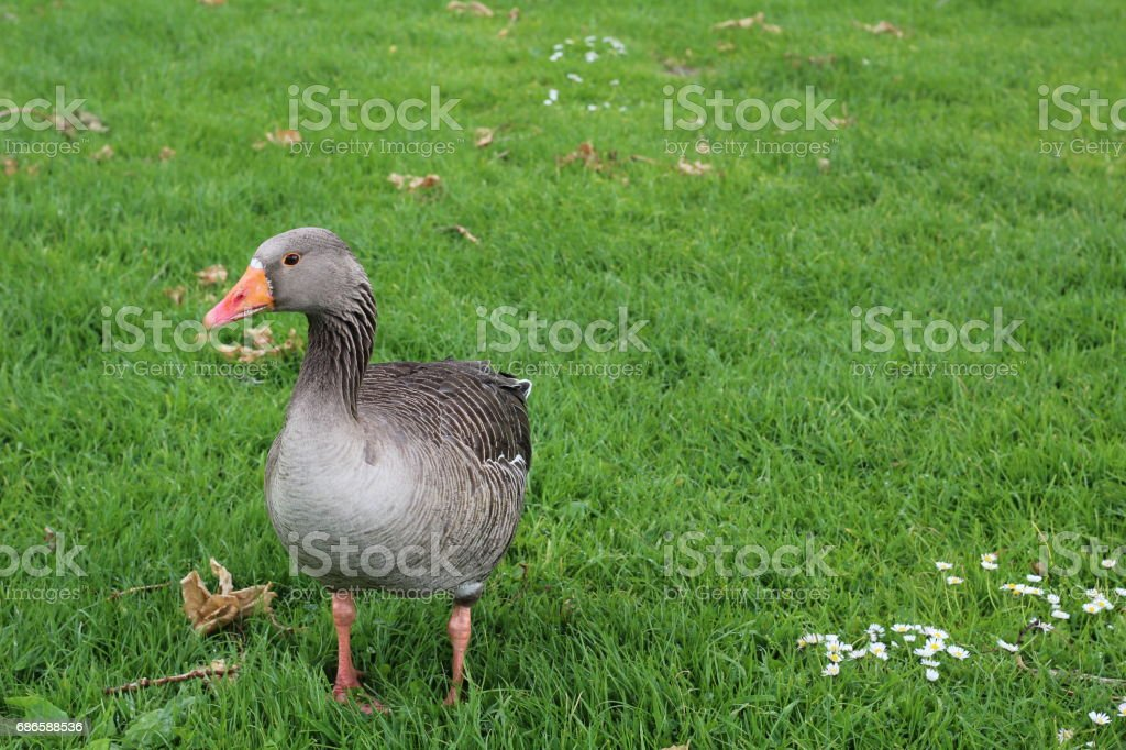 Domestic goose, Cork city, Ireland royalty-free stock photo