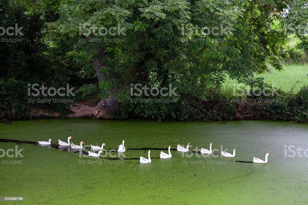 Domestic goose on pond stock photo