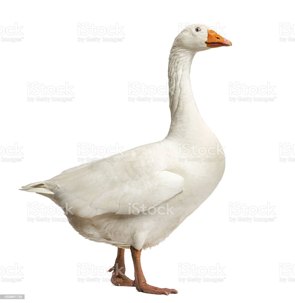 Domestic goose, standing, isolated on white stock photo
