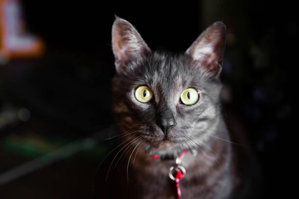 Domestic gray cat with a red collar picture id638417844?b=1&k=6&m=638417844&s=612x612&w=0&h=mfxckdlgbxqr4s9fusvfedzz33rmwsxne0imomh1qry=