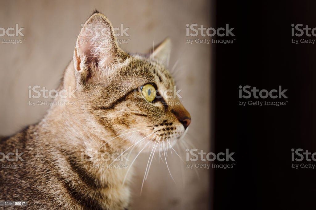 Domestic gray tabby cat is looking, friendly animal close up