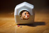 Gray Russian hamster, isolated on white.Gray Russian hamster, isolated on white.