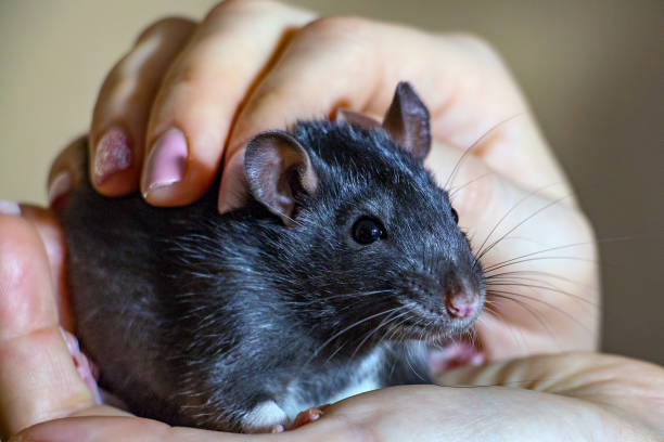 Domestic handheld rat sitting on hands picture id905065810?b=1&k=6&m=905065810&s=612x612&w=0&h=iylq8sqwkwhi3m3t8el 1vzg8iqrakkmihu53 ufqc4=