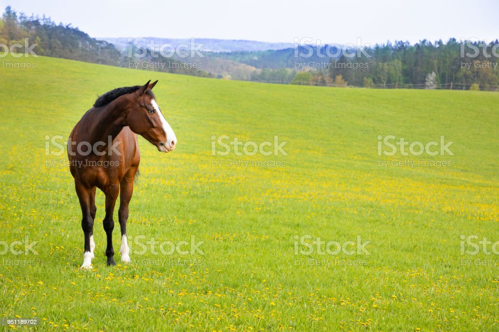 Domestic horse on a field stock photo
