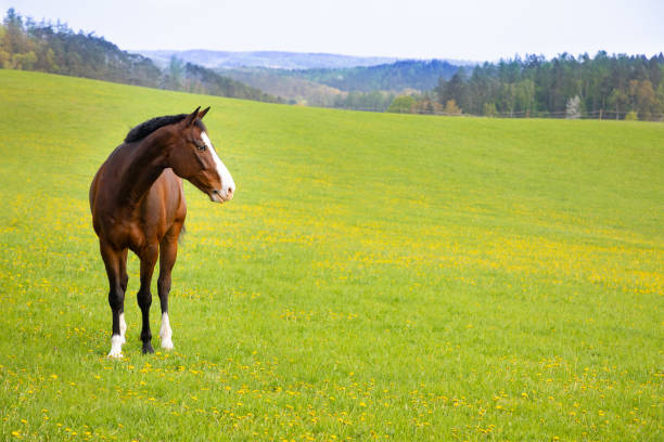 domestic horse on a field - horse stock pictures, royalty-free photos & images