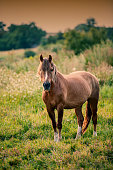Portrait of a Suffolk Punch horse . a young chestnut foal in a field . A head shot of a Suffolk Punch horse.Outdoor portrait of a draft horse
