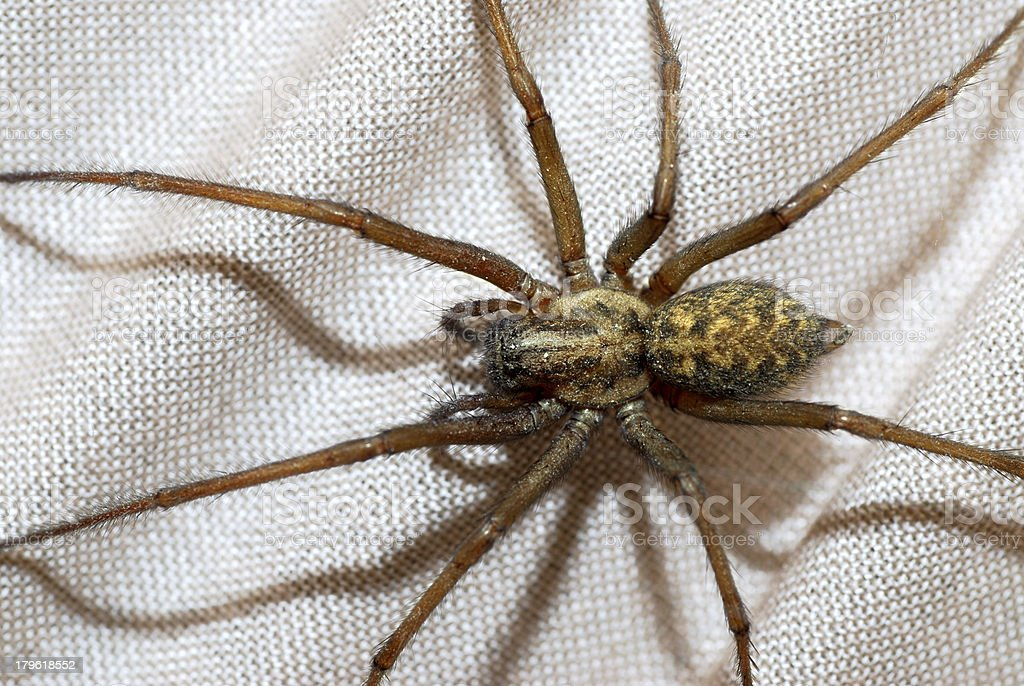 Domestic house spider royalty-free stock photo