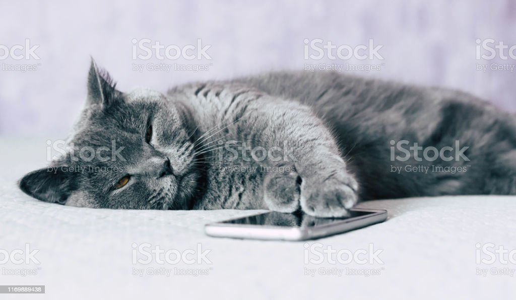 British shorthair cat with expressive orange eyes while laying on the...