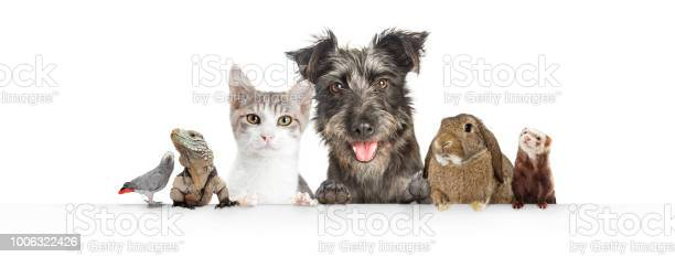 Domestic pets hanging over white website banner picture id1006322426?b=1&k=6&m=1006322426&s=612x612&h=g29eniumoi lxxwvgf1xqxphwx5hrqycjn2d esjcko=