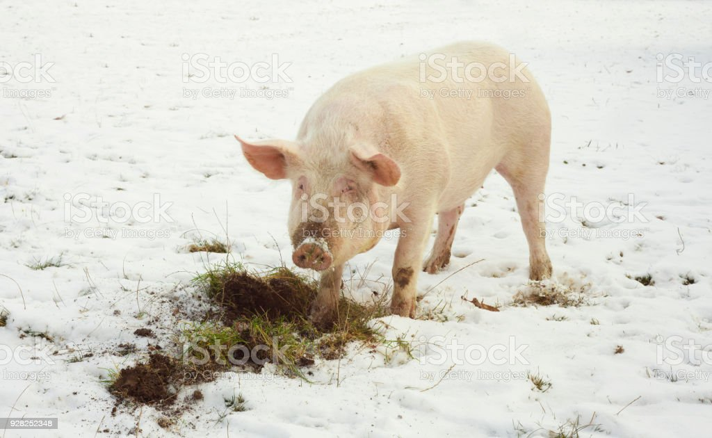 domestic pig, farm animal eating grass in winter scene