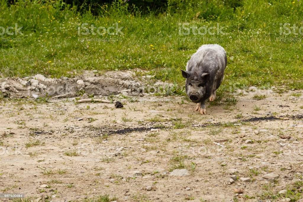 domestic pig on the background of wild forest, wild boar, mountains, tourism, greenery background, sucking-pig, close up face piggy stock photo