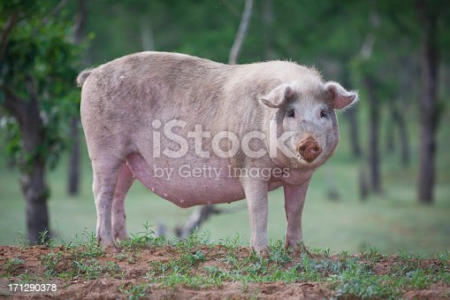 A pig in the grass
