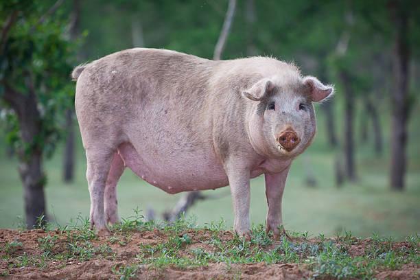 maiale domestico - scrofa foto e immagini stock