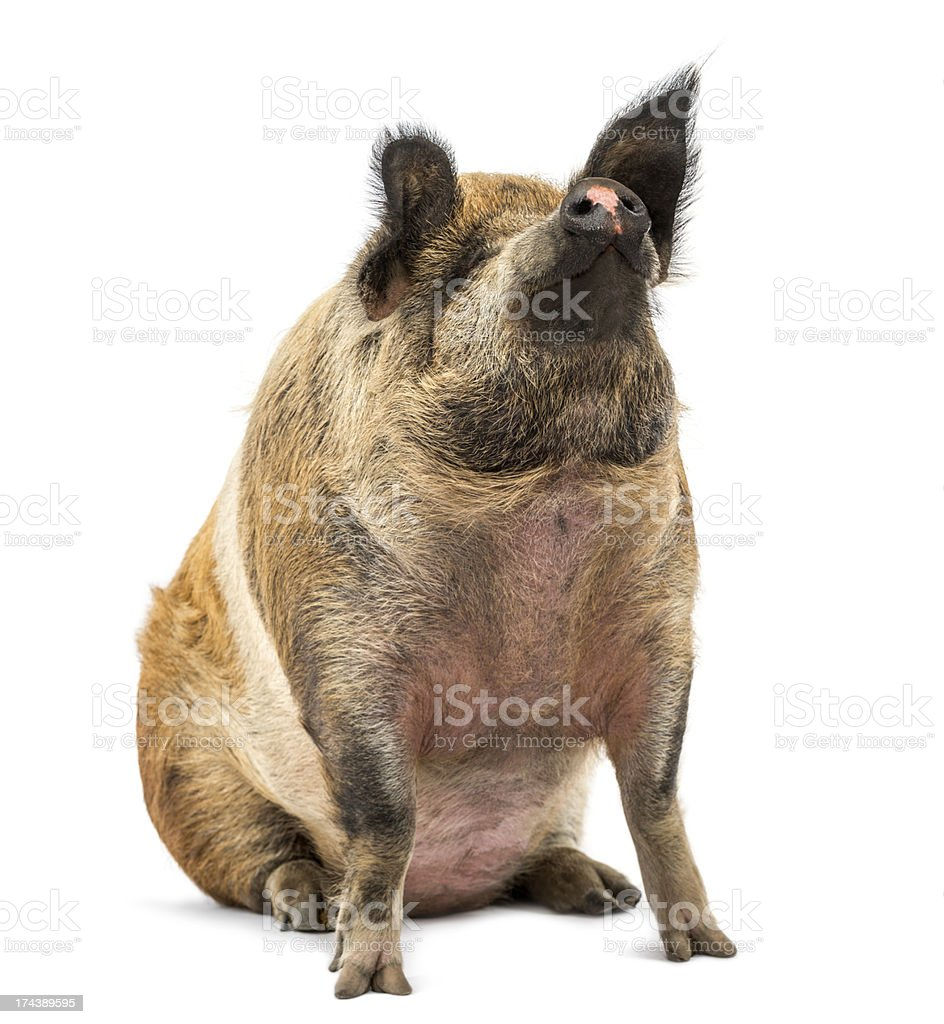 Domestic Pig sitting and looking up, isolated on white stock photo