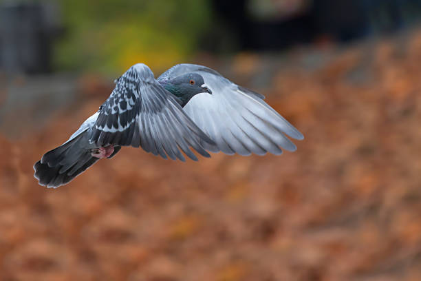 Domestic pigeon, Columba livia domestica, flying in the park Domestic pigeon, Columbidae, Columba livia domestica, flying in the park, against blurry orange leaves in the fall. pigeon stock pictures, royalty-free photos & images