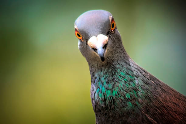 Domestic Pigeon stock photo
