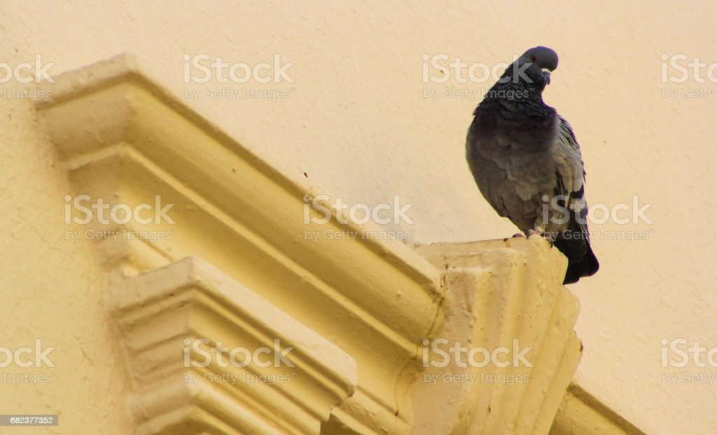 domestic pigeon royalty-free stock photo