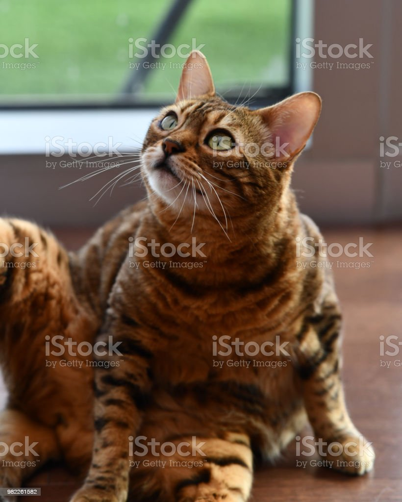 Bengal Cat Domesticated Cat posing for the camera