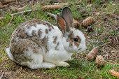 Domestic rabbit sitting under a spruce tree.