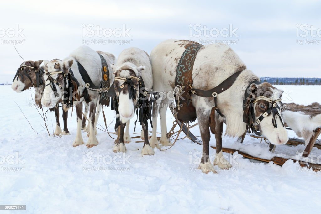 Domestic reindeer harnessed to sleds stock photo