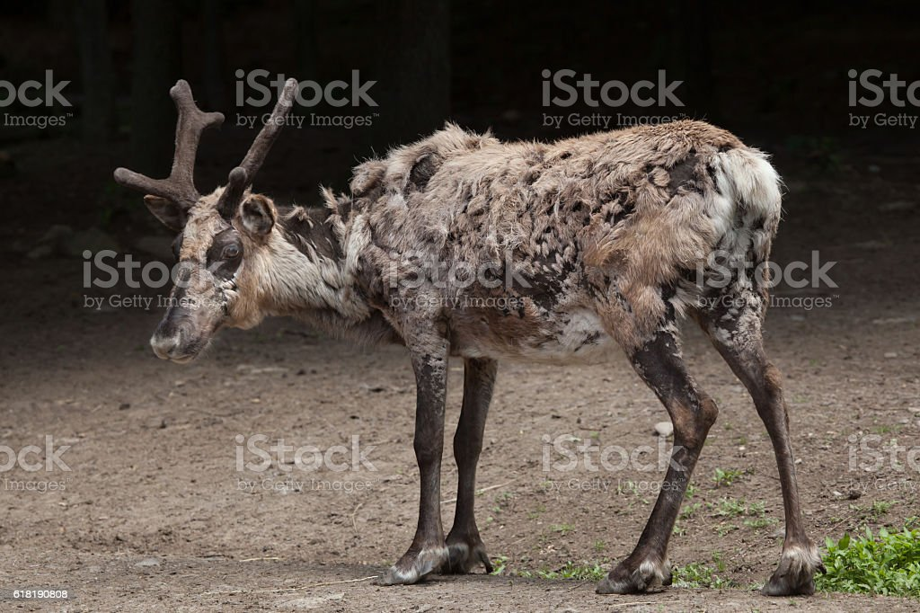 Domestic reindeer (Rangifer tarandus f. domestica) stock photo