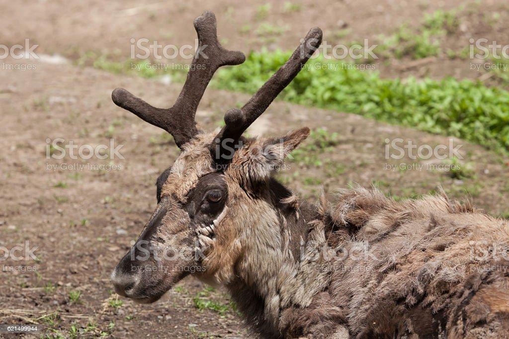 Domestic reindeer (Rangifer tarandus f. domestica) foto stock royalty-free