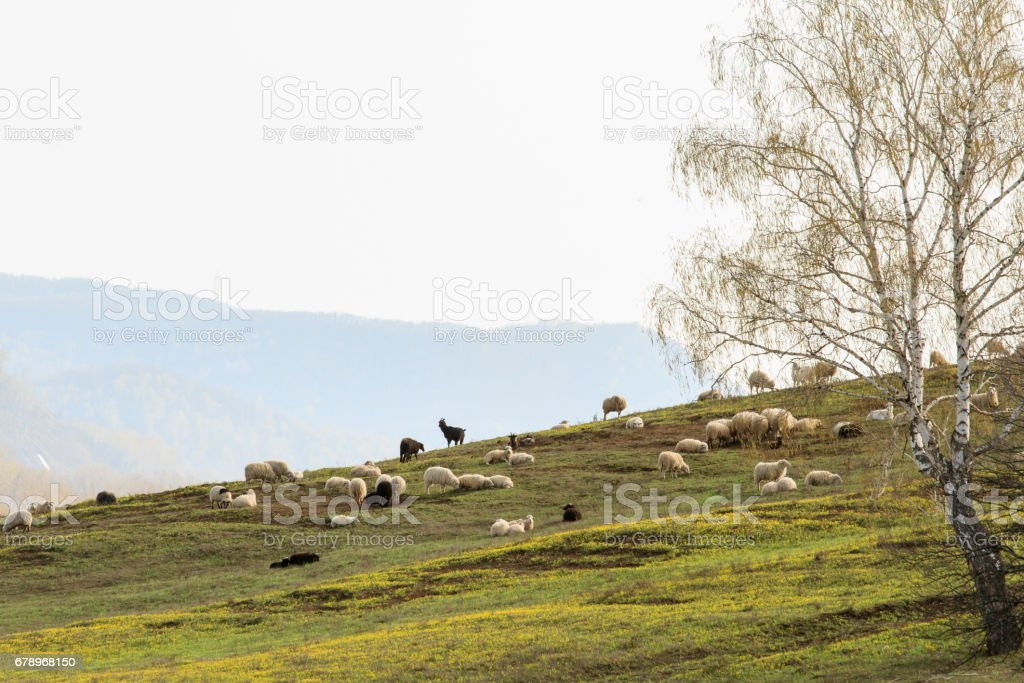 Domestic sheep and goats graze on the slopes of the mountains. photo libre de droits