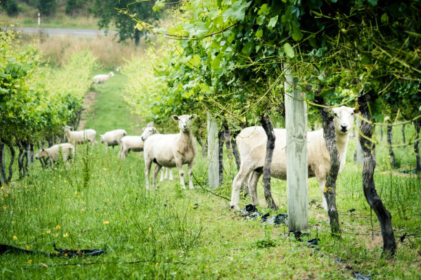 Domestic sheep in Vineyard in New Zealand stock photo