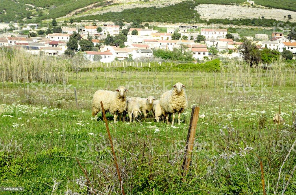 Domestic sheep on a meadow near Kolan, Island of Pag, Croatia stock photo