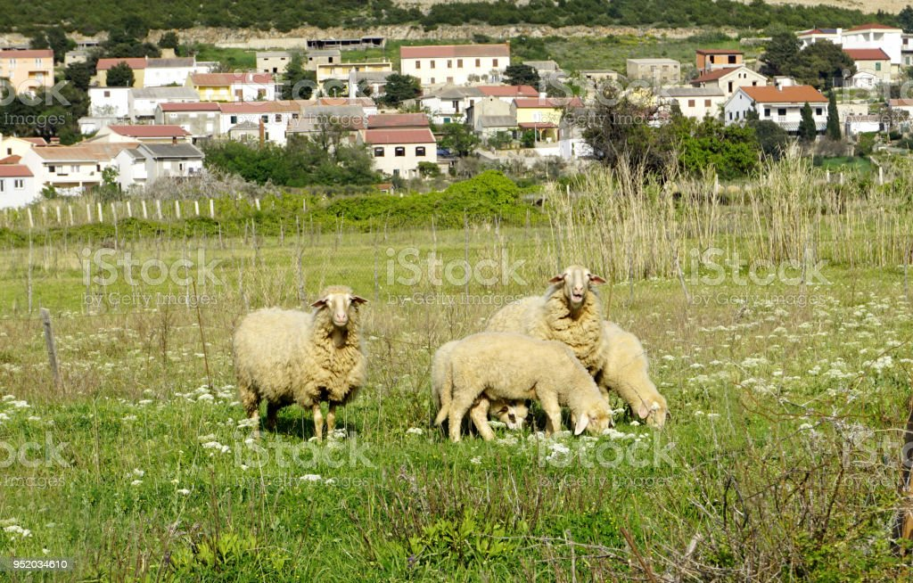 Domestic sheep on pasture near Kolan, Island of Pag in Croatia stock photo