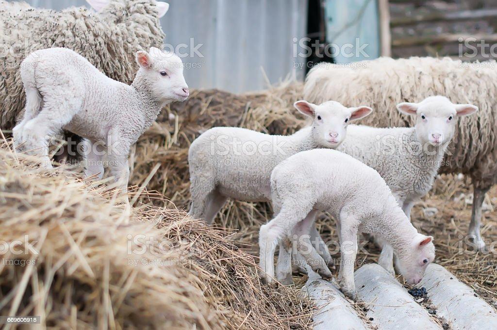 Mouton intérieurs - Photo
