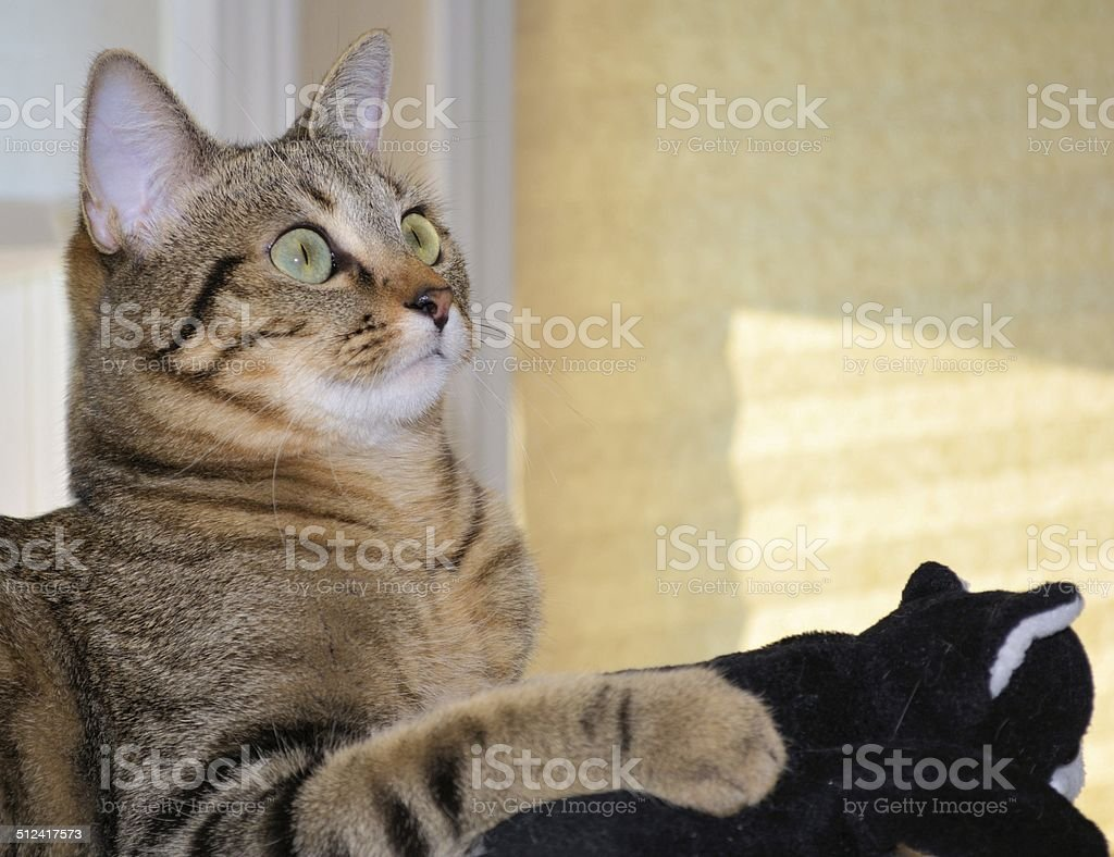Domestic Shorthair Bengal Cat with Black Kitten Toy stock photo