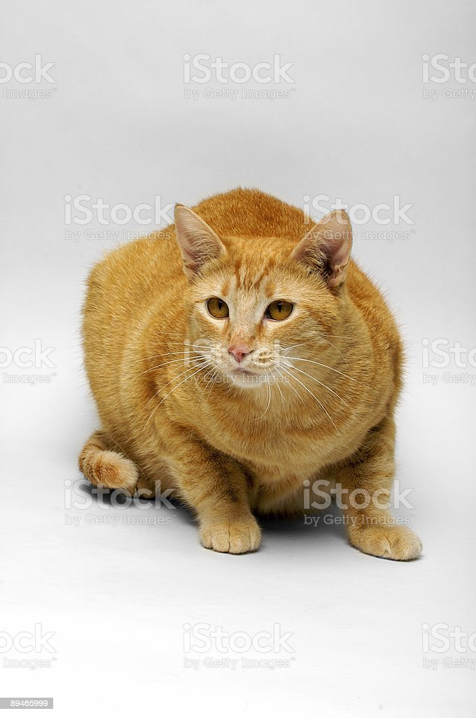Domestic Shorthair Cat (Ally 01) royalty-free stock photo