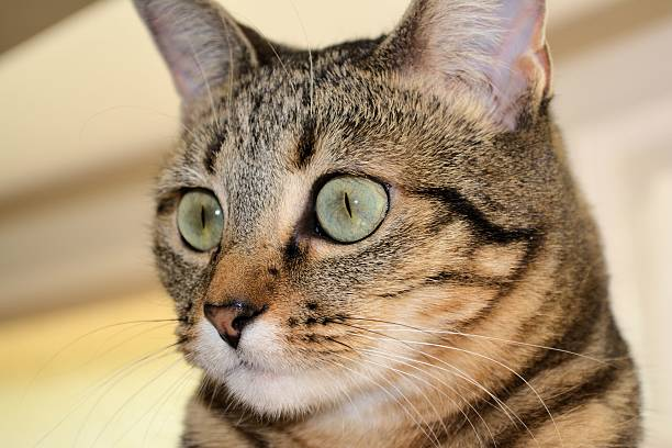 Domestic shorthair cat with green eyes looking left. stock photo