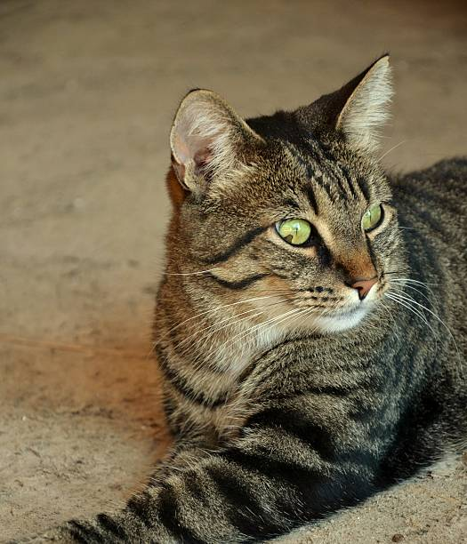 Domestic Shorthair Tiger Cat stock photo