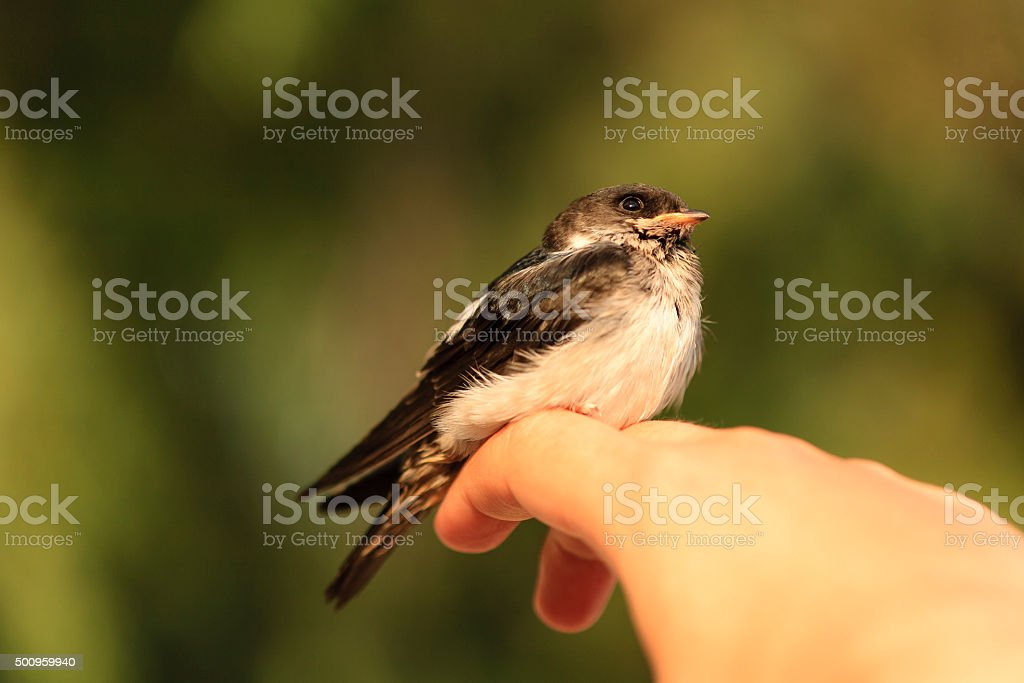 Domestic swallow stock photo
