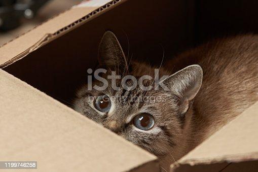 istock domestic tabby cat hiding at paper box. domestic pet 1199746258