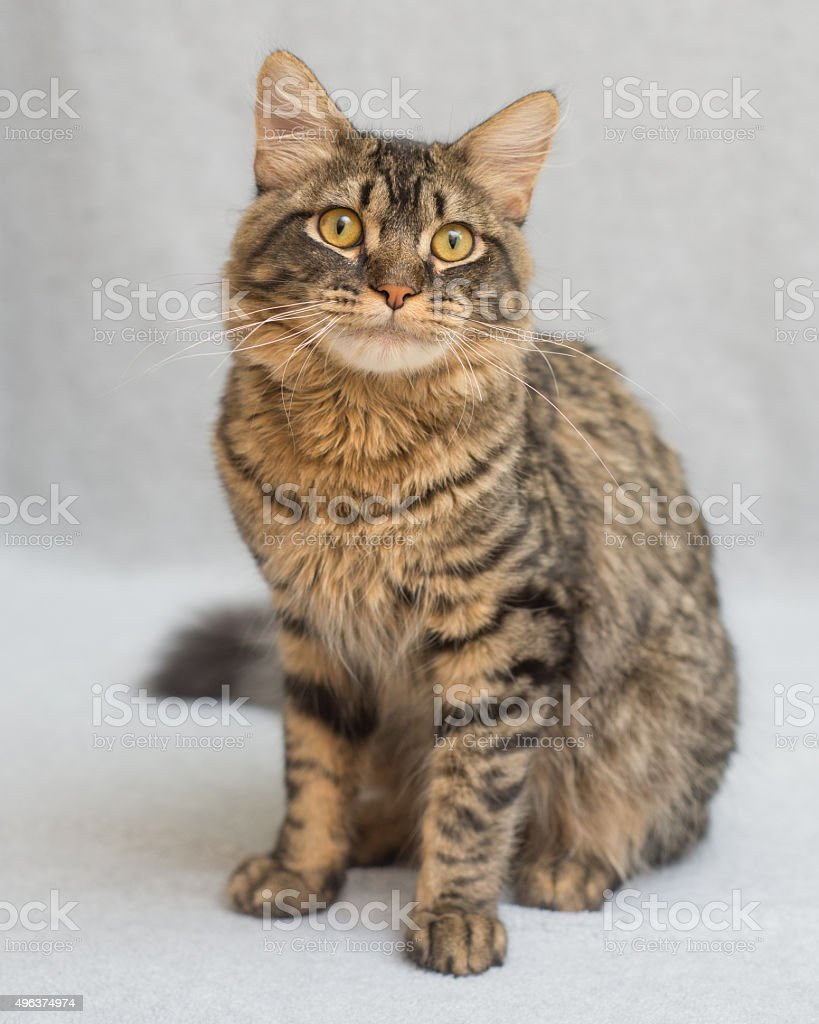 Domestic tabby cat sitting stock photo