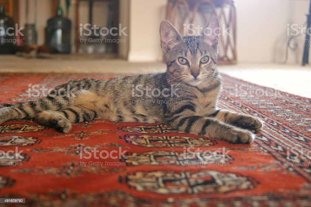 Domestic tabby stock photo