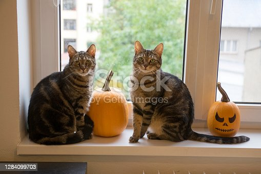 Two domestic cats sitting on windowsill and waiting for halloween celebration with two winter pumpkins, painted frightening Jack-o'-lantern face, eye contact