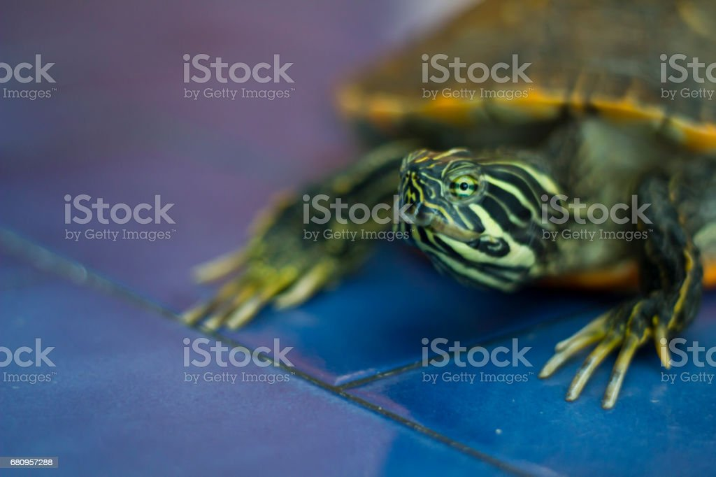 Domestic turtle royalty-free stock photo
